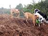Happy pups at the ranch_ Ginger H, Molly H, Budra and Kiki