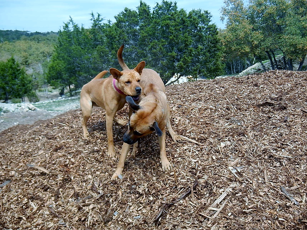 Ginger H  and Molly H  playing in the mulch