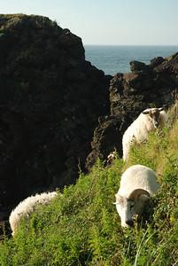 Moutons sur le sentier Green Gardens - Parc national de Gros Morne, Terre-Neuve