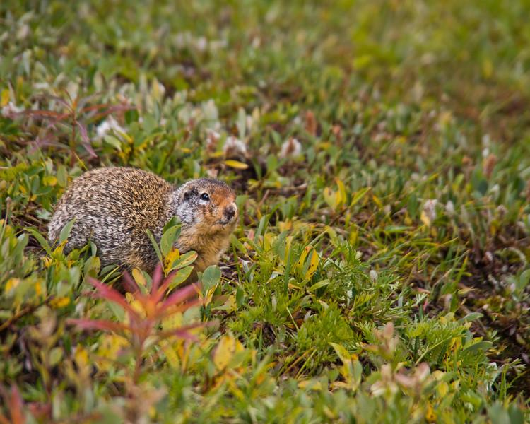 Ground Squirrel, Skyline Trail - Jasper National Park