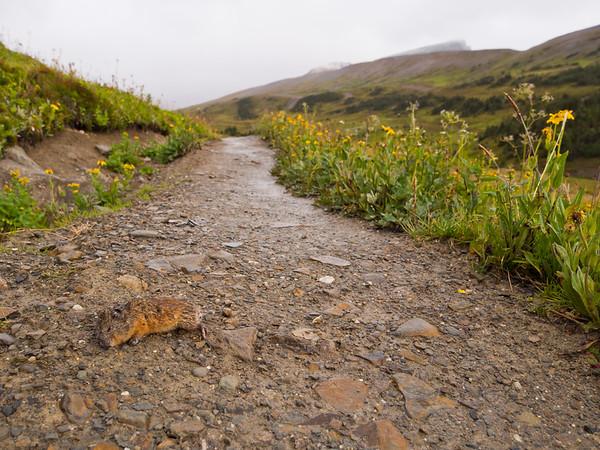 Trail kill, Skyline Trail - Jasper National Park