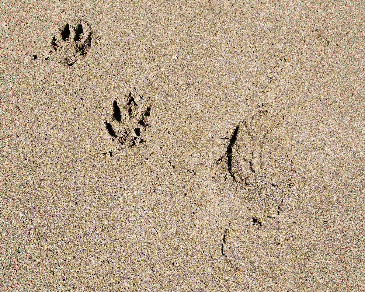Wolf track? Monique's dogs is more likely