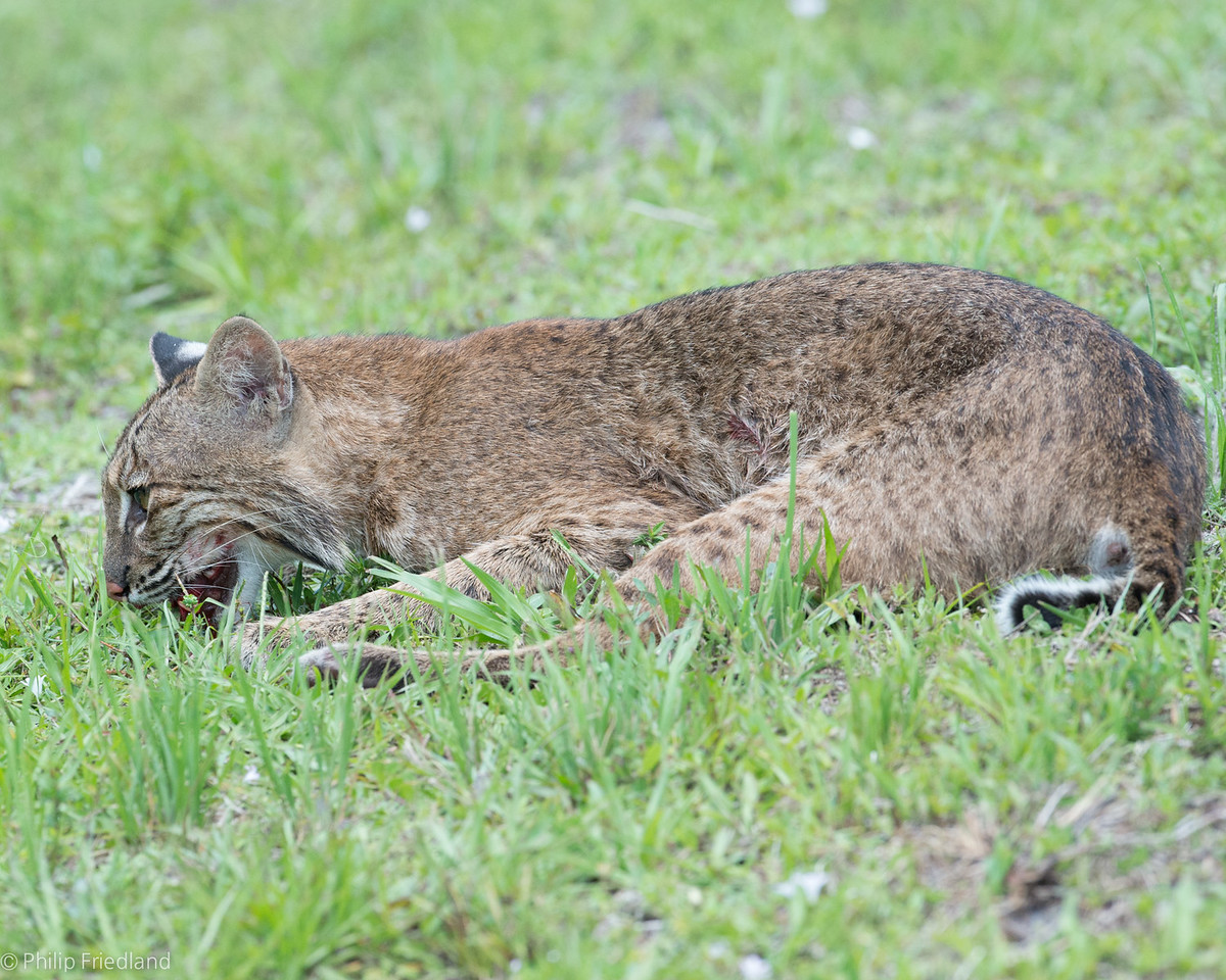 Bobcat hit by car