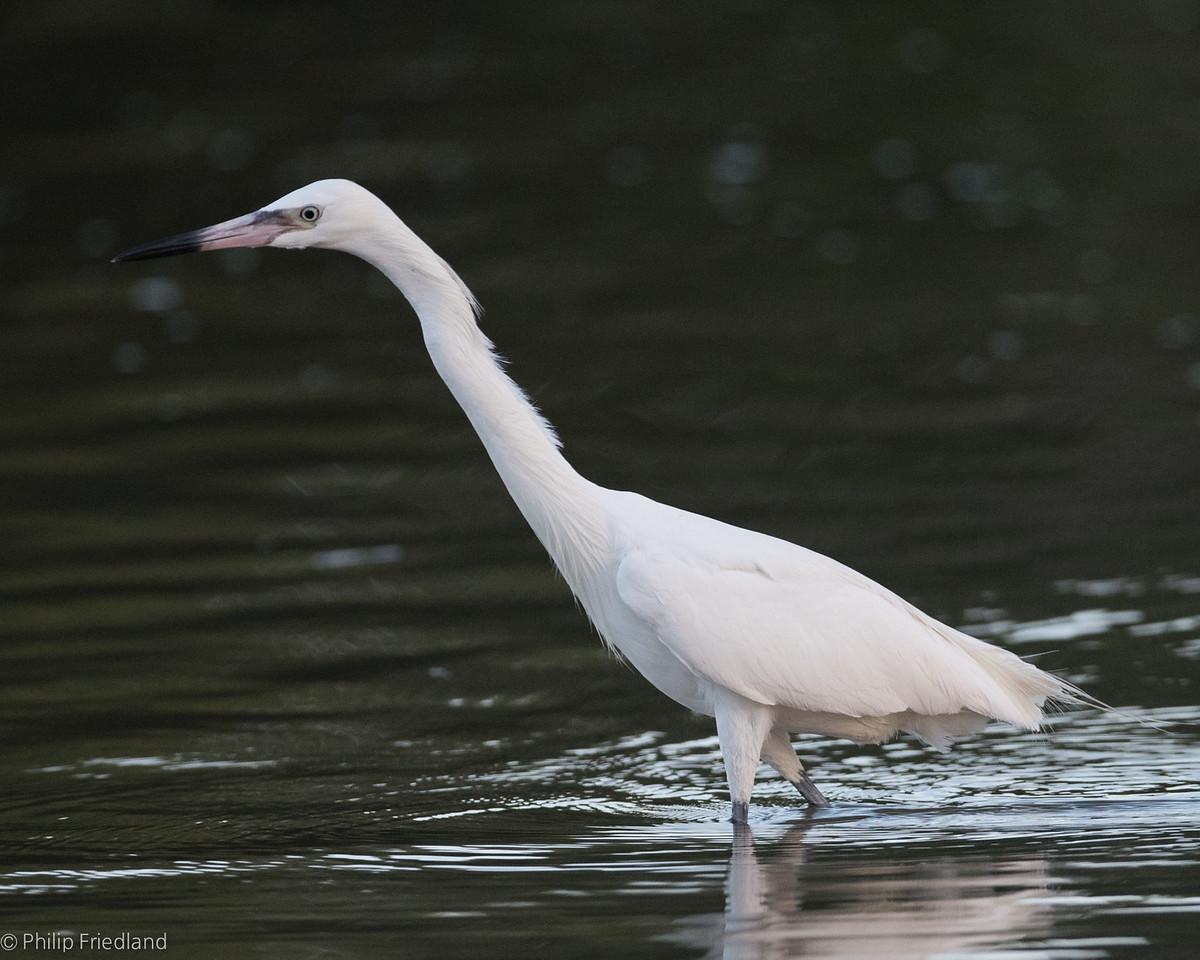Morph Reddish Egret