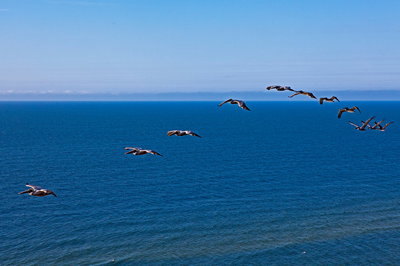 Pelicans Gulf Shores_2265