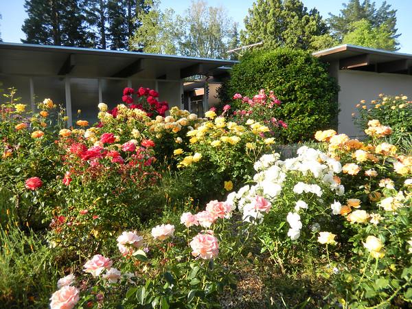 11-05-11 Margarets Roses