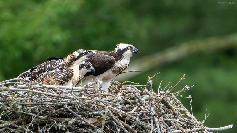 Adult osprey and her two chicks