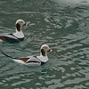 Male Long-tailed ducks