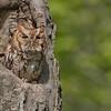 Red morph Eastern screech owl