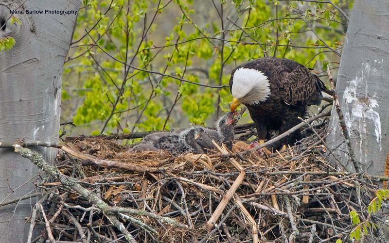 Bald Eagle feeding the chicks! Ohio 2019