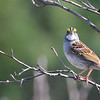 White-Throated Sparrow 2018