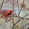 Cardinal eating berries
