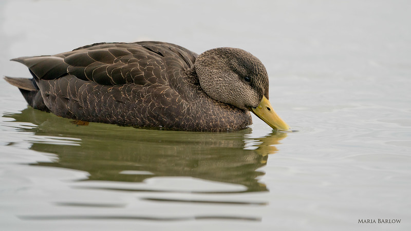Female American Black Duck, LaSalle