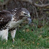 Young Red-Tailed Hawk eating a freshly caught rodent! Near Kingston, Ontario