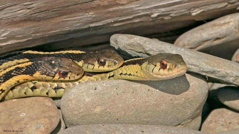 Young Garter Snakes