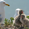 Ring-billed gull and her chicks