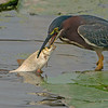 Green heron with a big catch! - Part 1