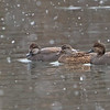 Gadwall Ducks in the snow