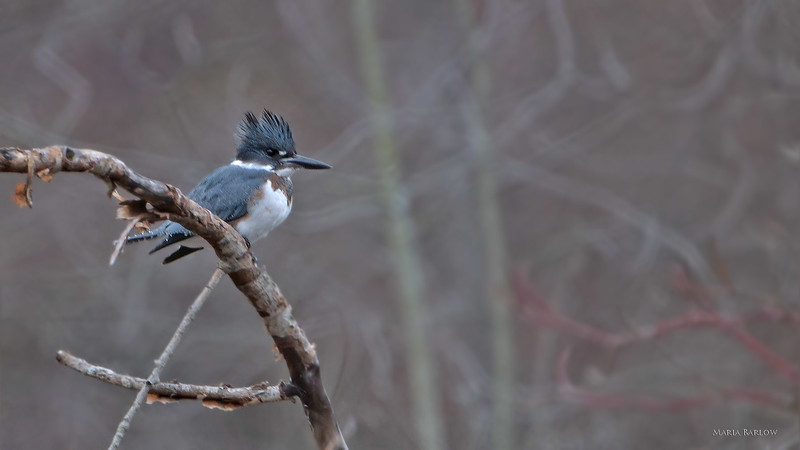 Female Belted Kingfisher, Dufferin January 21, 2021