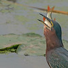 Green heron with a big catch! - Part 3