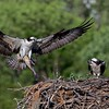 Osprey with a fish!