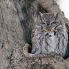 Grey morph eastern screech owl