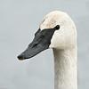 Trumpeter Swan, LaSalle