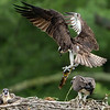 Osprey brining a fish home to the family