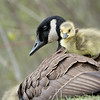Canada goose and her gosling