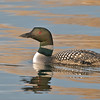 Common Loon , Barrie