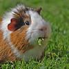 George the guinea pig 2018