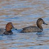 Male and female Redheads