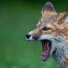 Yawning fox kit