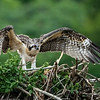 Young Osprey testing it's wings