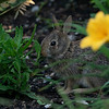 Young White-tailed rabbit