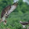 Osprey bringing in a fish!