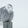 Maria's photography from when she was only 9! Snowy Owl 2014