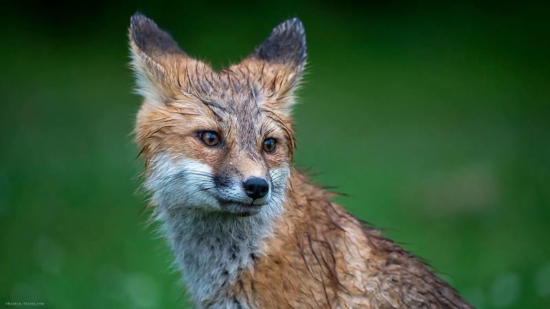Wet fox kit