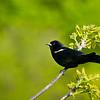 Red Winged Black bird 2018