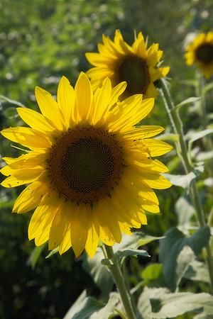 Maria's Sunflowers