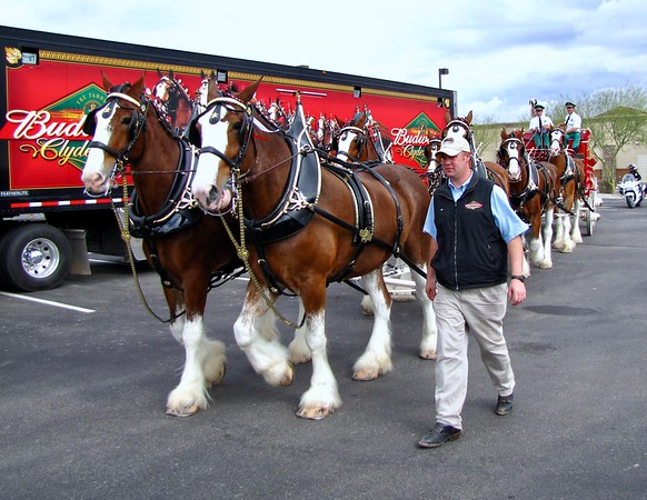 The Budweiser Clydesdales visit Maricopa (2010)
