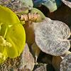 Wild flowers in Death Valley National Park