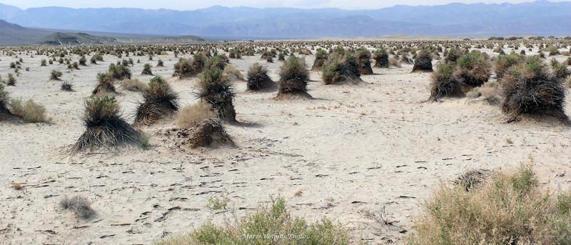 Devil's Cornfield at Death Valley National Park