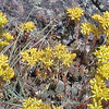 Sedums growing in the rocks in Yellowstone National Park
