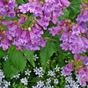 Garden scene of blue star creeper and penstemmon