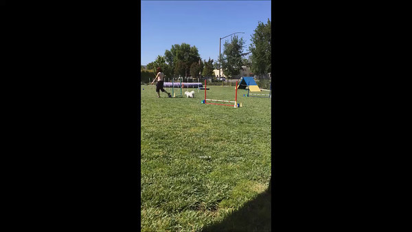 Agility - Jumping for Joy Dogs