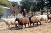 Marissa Thornton and her dairy sheep at her family ranch in Tomales, Calif. on Thursday, August 23, 2012.(Special to the IJ/Jocelyn Knight)