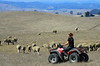 Marissa Thornton corrals her father's sheep on a 4-wheeler at her family's ranch in Tomales, Calif. on Thursday, August 23, 2012.(Special to the IJ/Jocelyn Knight)