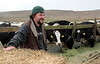Jarrod Mendoza and his dairy cows at Historic B Ranch in the Pt. Reyes National Seashore, Calif. on Thursday, August 23, 2012.(Special to the IJ/Jocelyn Knight)