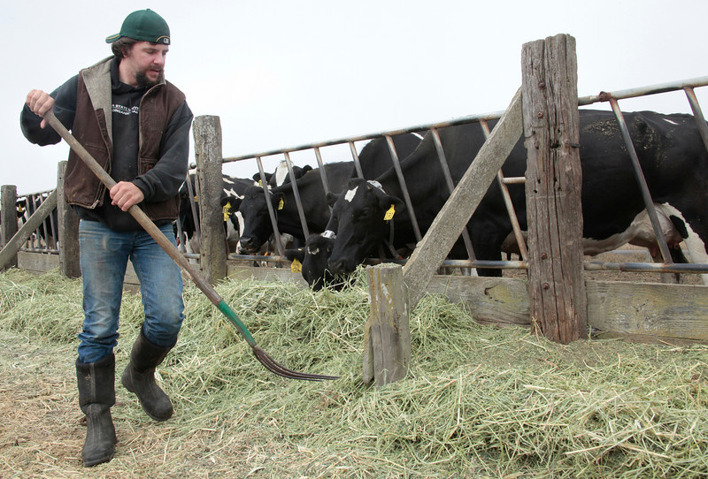 Jarrod Mendoza feeds his Holstein dairy cows at Historic B Ranch in Point Reyes Station, Calif. on Thursday, August 23, 2012.(Special to the IJ/Jocelyn Knight)